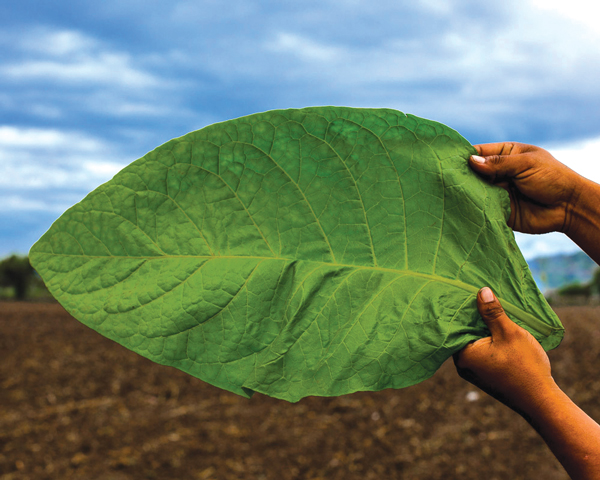 Aganorsa Leaf