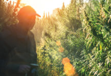 McConnell Considering New Legislation to Address Hemp Regulation Issues