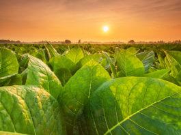 BAT Looks to Tobacco Plants For Coronavirus Vaccine