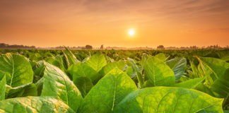 BAT Looks to Tobacco Plants For Coronavirus Vaccine