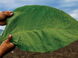 Casa Fernandez | Aganorsa Leaf | Tobacconist Magazine