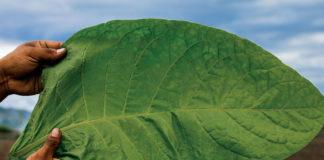 Casa Fernandez   Aganorsa Leaf   Tobacconist Magazine